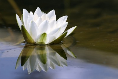 white delicate water lily
