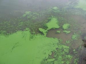 Cyanobacteria_17